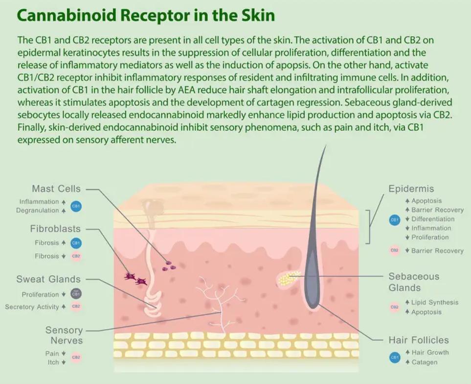 educational cbd cream skin absorption and cannabinoid targets