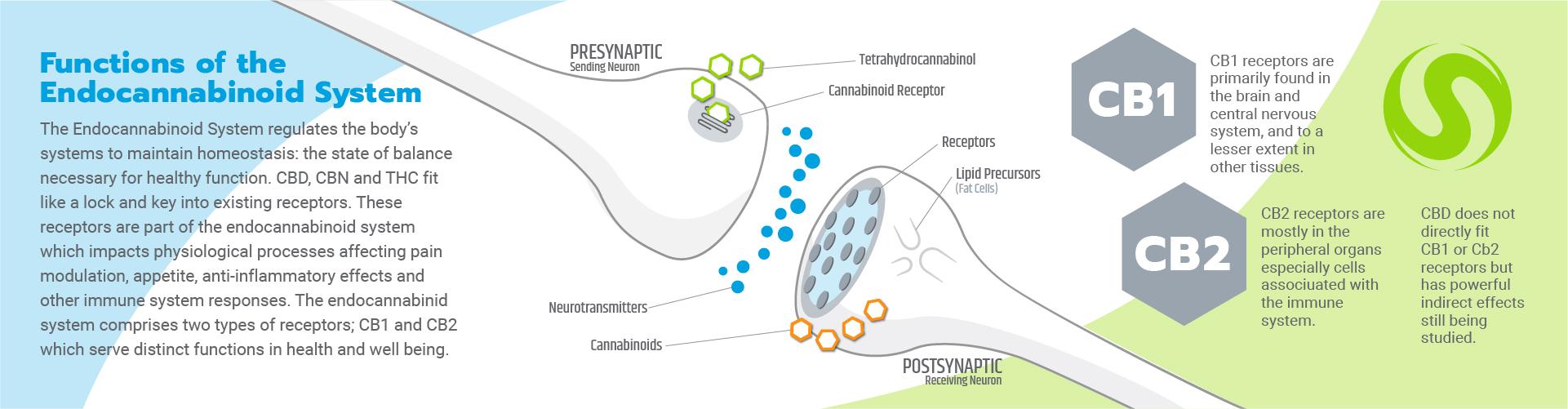 visualizes cb1 cb2 receptors and endocannabinoid receptor