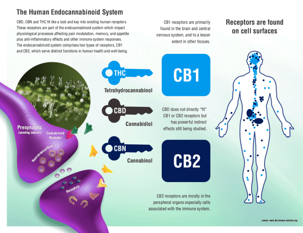 visual overview of the ECS endocannabinoid system