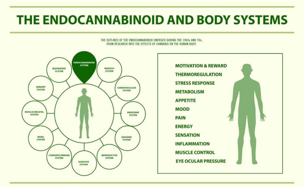 visualizes human endocannabinoid system