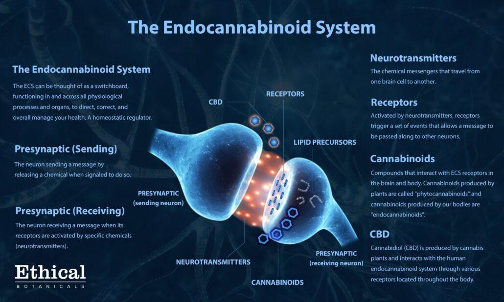 educational infographic detailing human endocannabinoid system